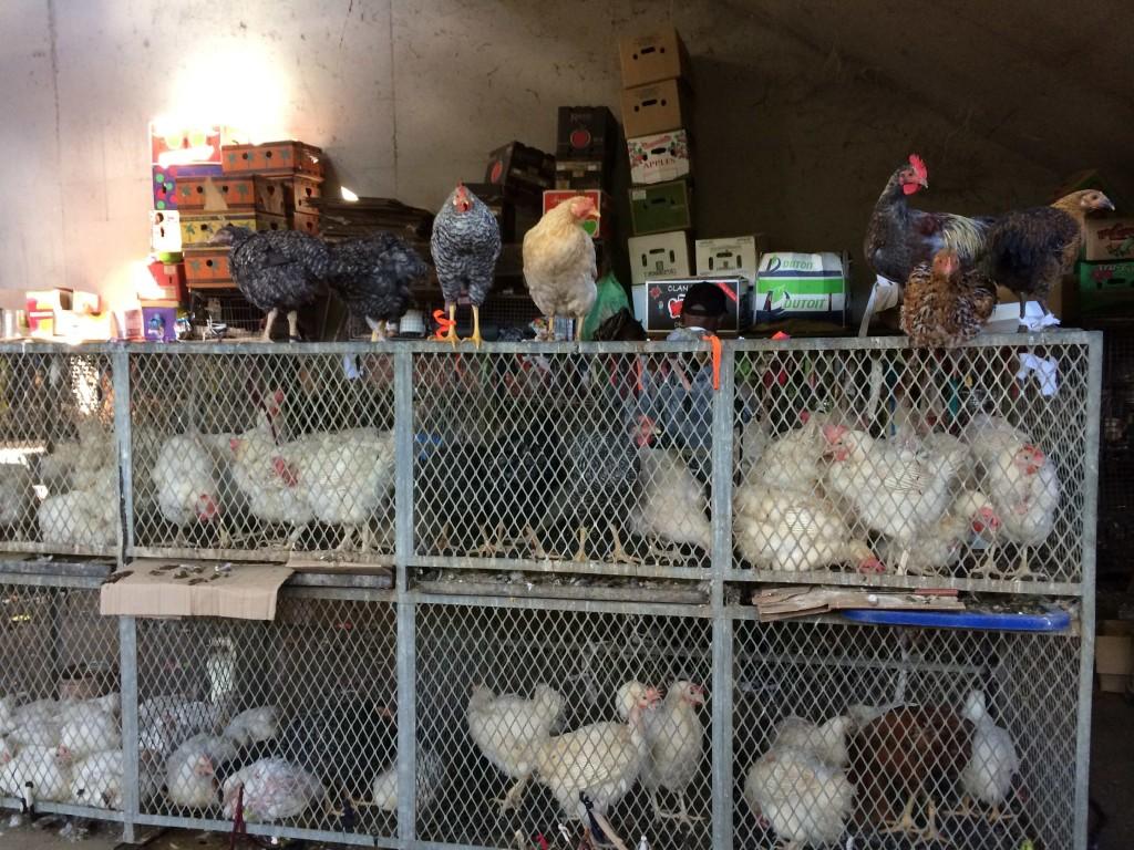 Warwick chickens